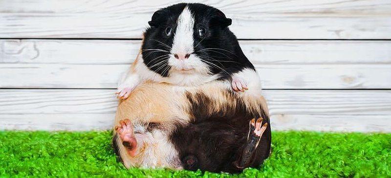 Почему толстеет морская свинка - главное фото