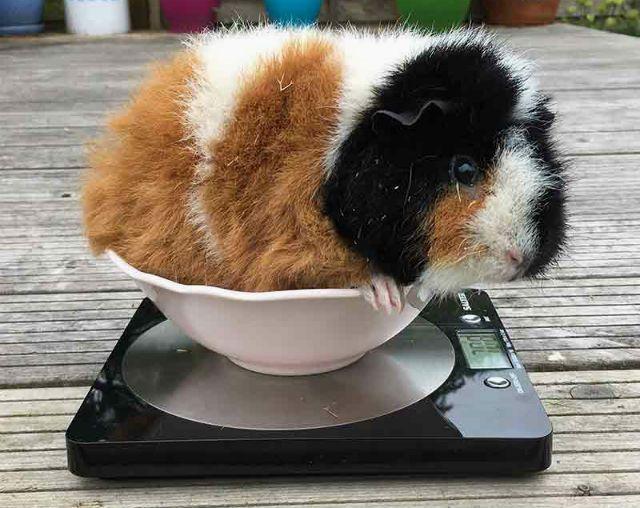 Почему толстеет морская свинка - нормализация веса