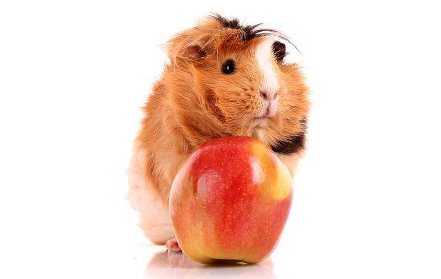 Почему толстеет морская свинка - фрукты в рационе