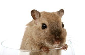 крыса в стакане