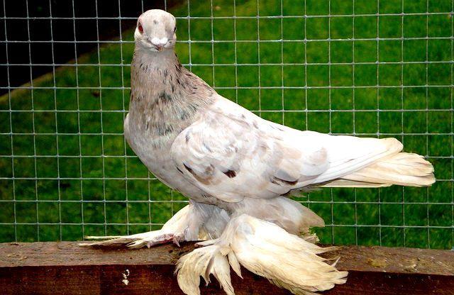 Армавирские голуби - главное фото