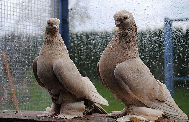 Армавирские голуби - условия содержания