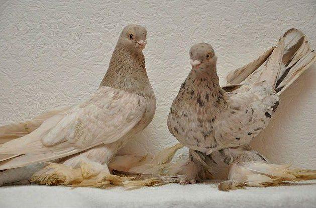 Армавирские голуби с бежевым оперением