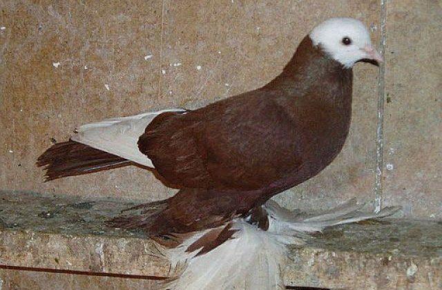 Армавирский голубь коричневый