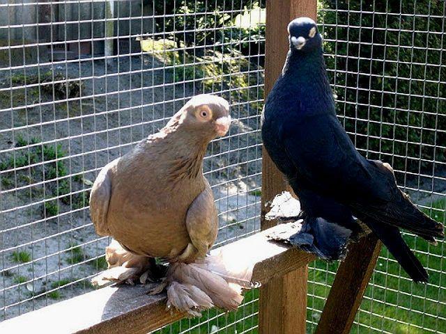 Два армавирских голубя