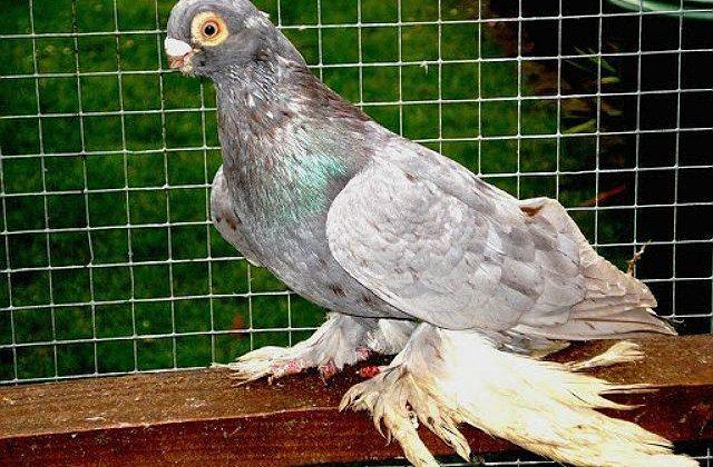 Красивый Армавирский голубь