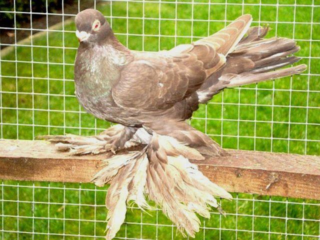 Армавирские голуби - внешний вид