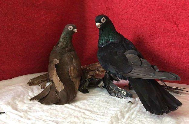 Армавирские голуби темного окраса