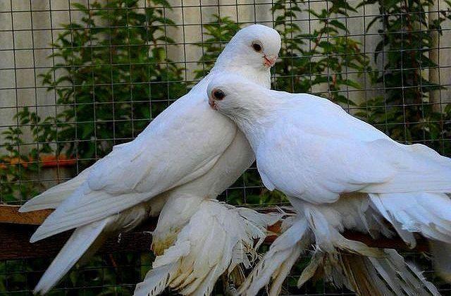 Белые армавирские голуби