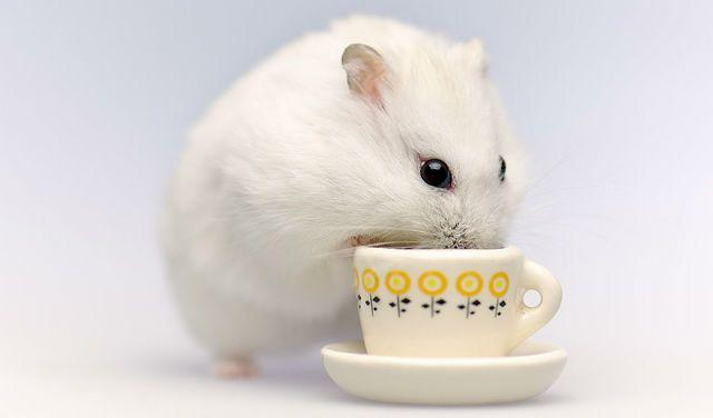 Белый джунгарский хомячок