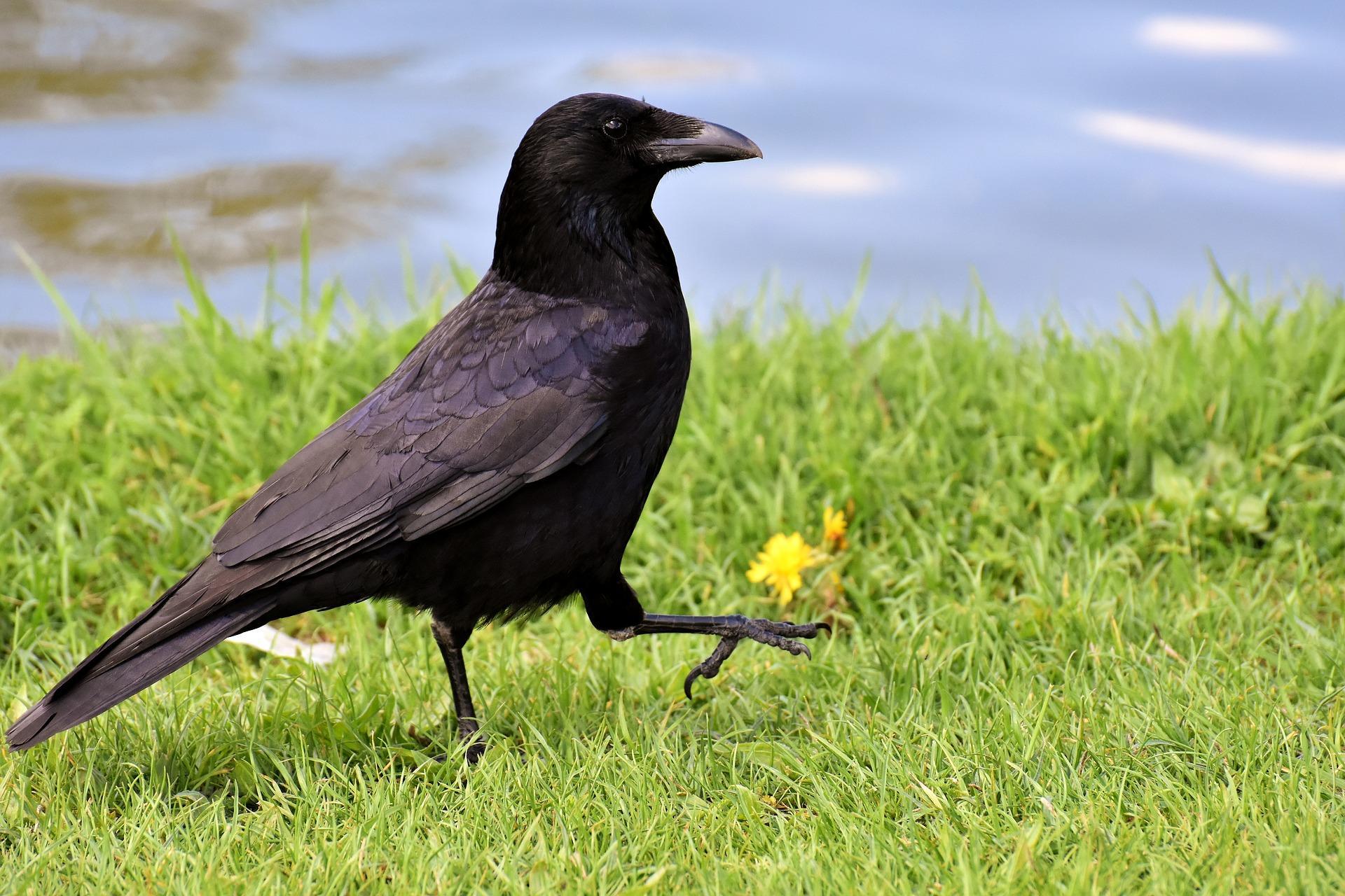 ворона на траве
