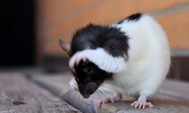 Декоративная крыса чешется - блохи и вши