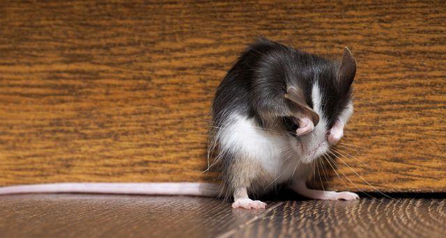 Декоративная крыса чешется - главное фото