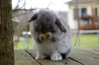 Декоративный кролик чихает