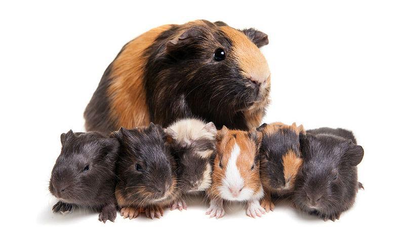 Детеныши морской свинки - главное фото