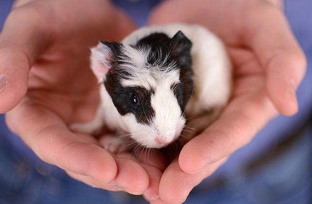 Детеныш морской свинки на руках