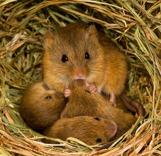 Размножение мышей в дикой природе