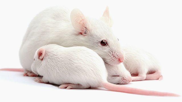 Рост и развитие мышат