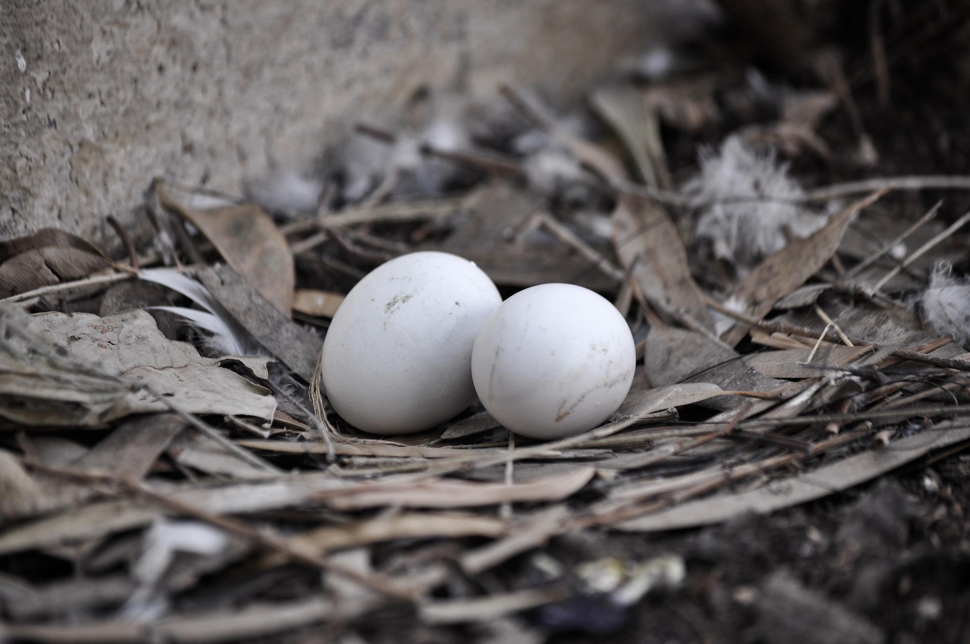 голубиные яйца