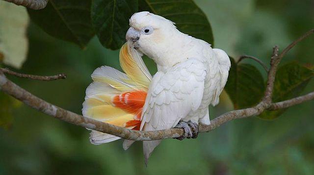 Филиппинский какаду