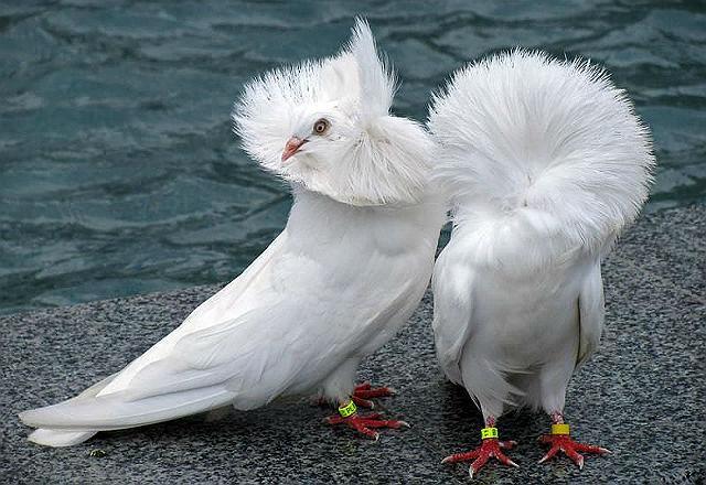 Голуби якобины - главное фото