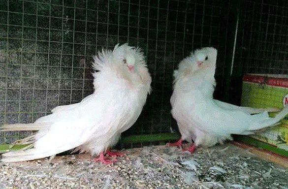 Якобины - голуби