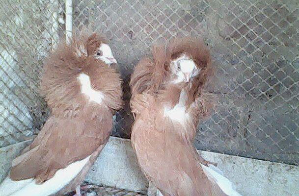 Два голубя якобина