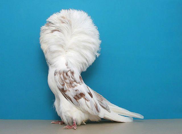 Белый голубь якобин