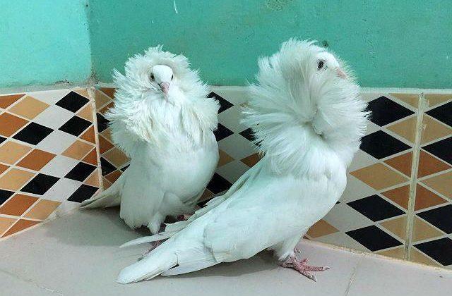 Голуби якобины с белым оперением