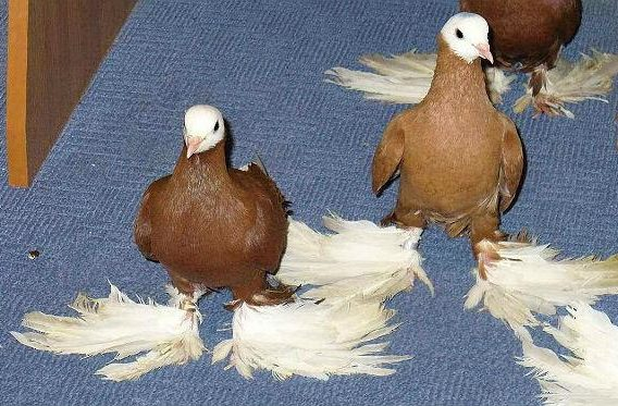 Армавирские голуби - вид спереди