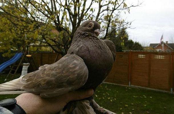 Коричневый голубь - армавирский