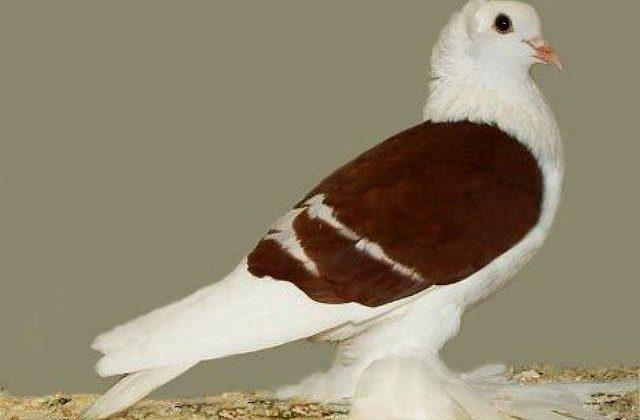 Голубь монах с коричневыми крыльями