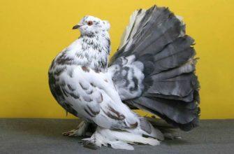 Голуби-павлины - главное фото