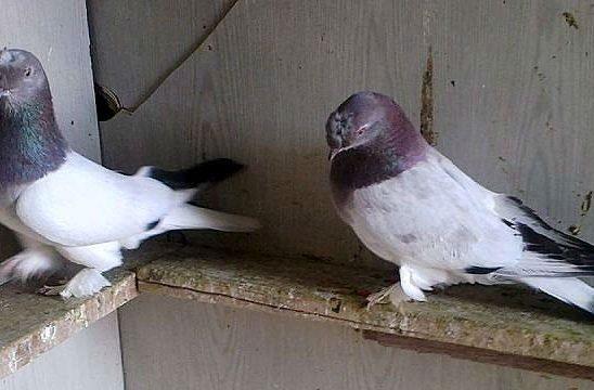 Турецкая порода голубей - такла
