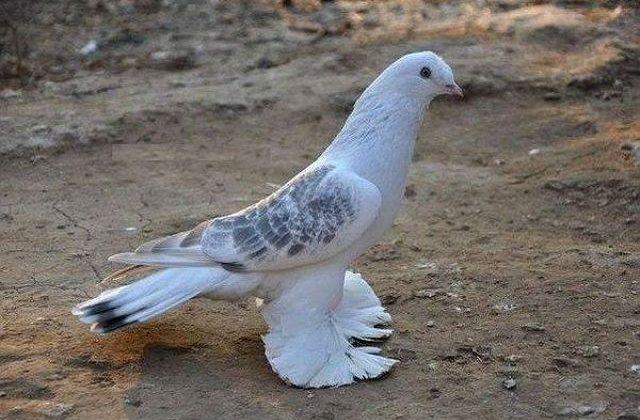 Такла - голубь
