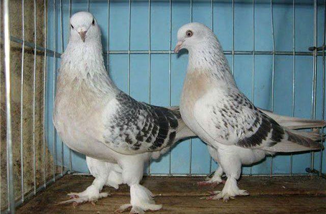 Голуби такла - турецкие