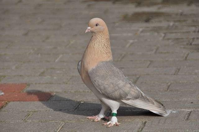 Красивый голубь такла