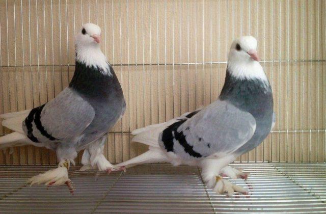 Внешний вид голубей такла