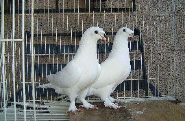 Белые голуби такла