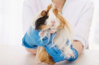 Грибковые болезни и кожные паразиты у морских свинок