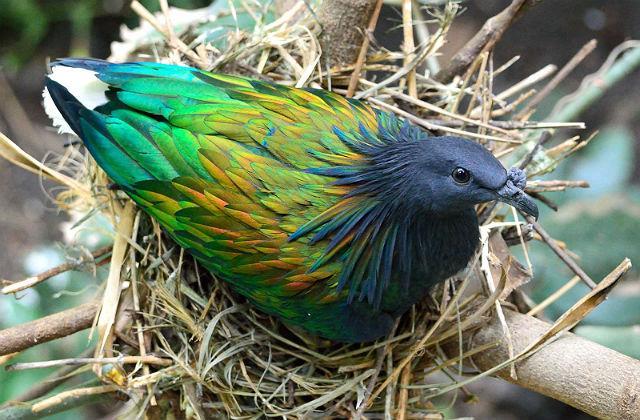Гривистый голубь - размножение