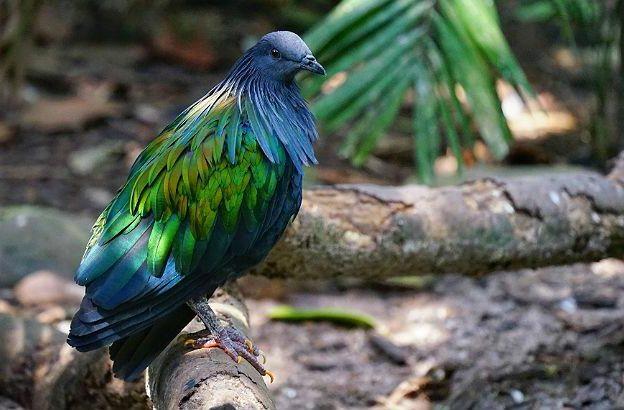 Красивый Гривистый голубь