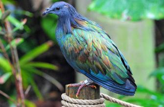 Гривистый голубь - главное фото