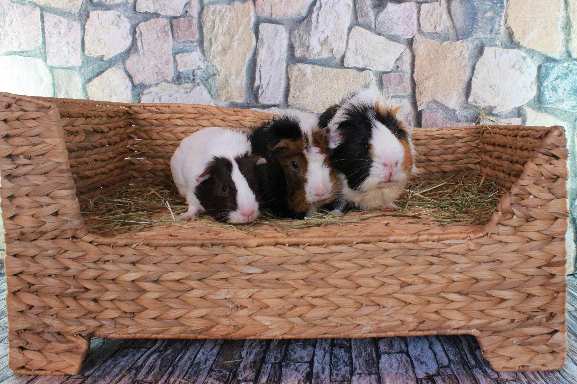 три морские свинки
