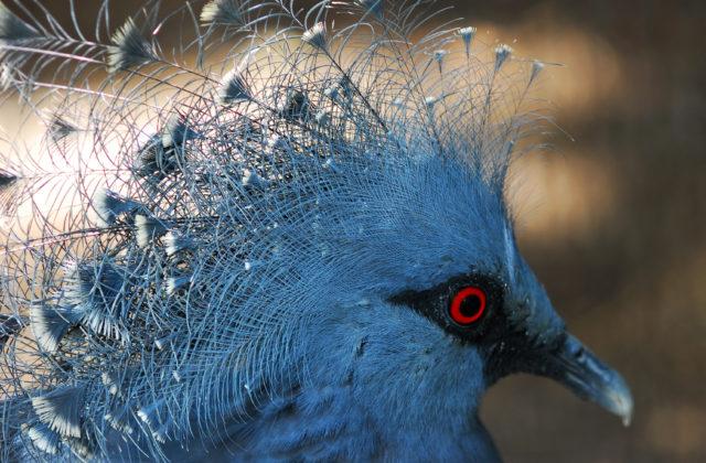 Венценосный голубь (Guria)