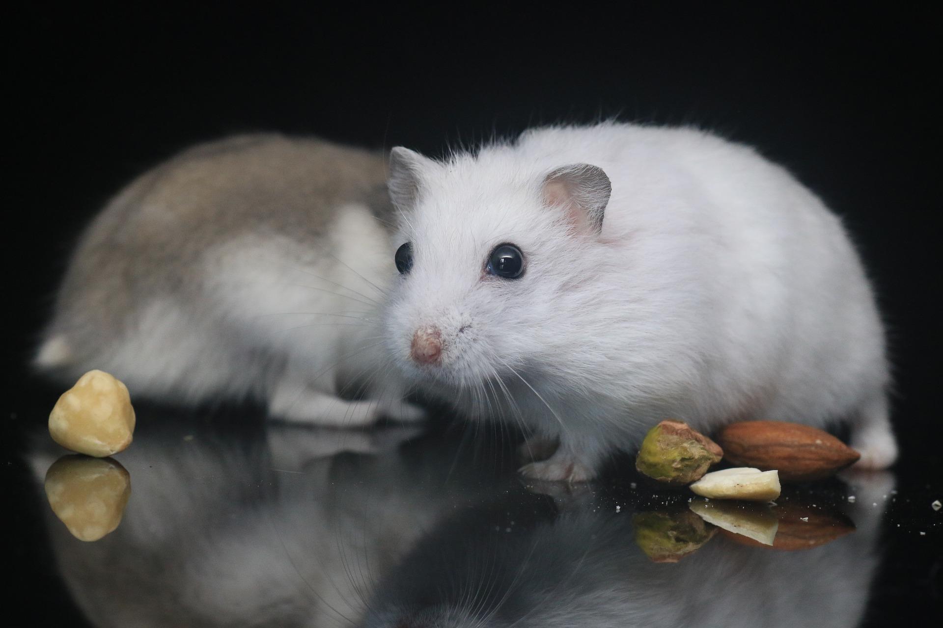 хомяки с арахисом