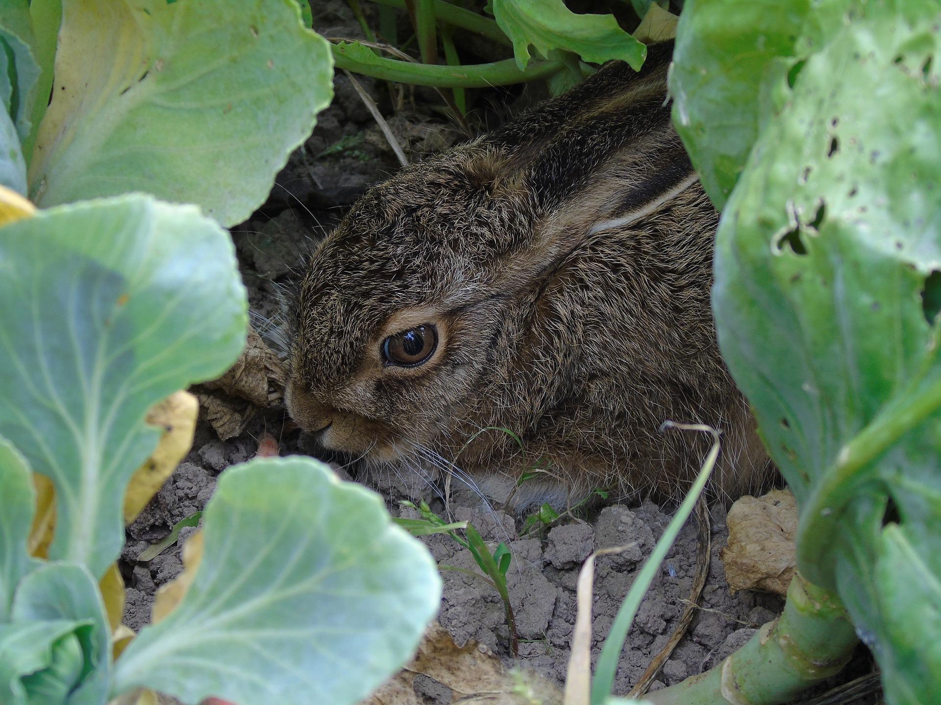 заяц на огороде