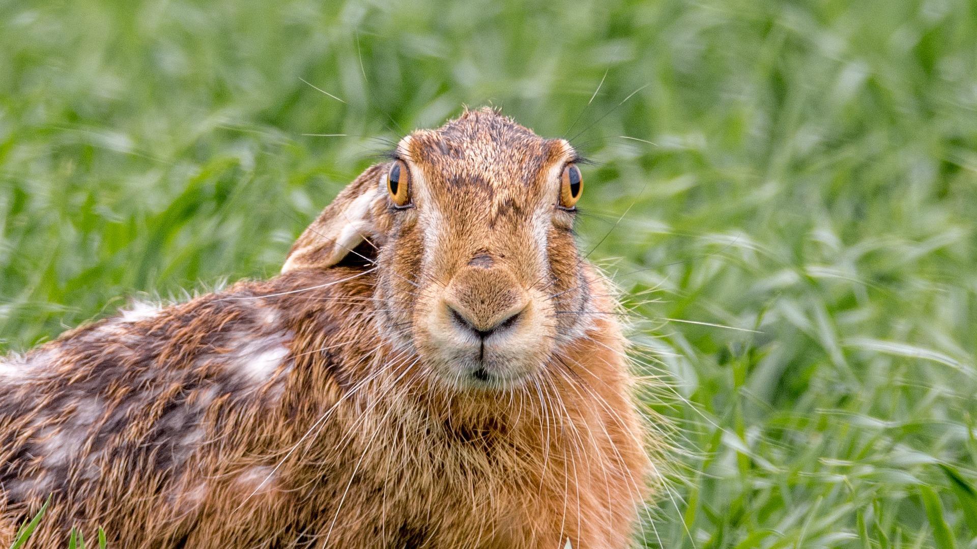 морда зайца