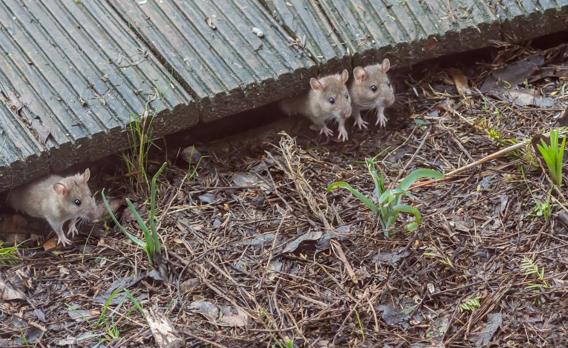 мыши во дворе