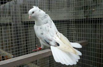 Иранские голуби - главное фото